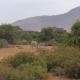Herd Of Grevy's Zebra Grazing Near The Green Bushes And Trees Of Samburu Reserve - VideoHive Item for Sale