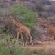 Giraffes Goes In African Savannah, Samburu, Eating The Leaves Of The Trees - VideoHive Item for Sale