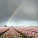 Rainbow and clouds over windmill and hyacinth flowers - PhotoDune Item for Sale