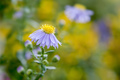 purple aster in the garden - PhotoDune Item for Sale