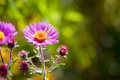 pink aster in the garden - PhotoDune Item for Sale