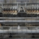 Eggs Automated Sorting in Factory - VideoHive Item for Sale