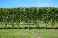 Vineyard, vine plants and blue sky in a sunny day - PhotoDune Item for Sale