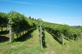Green vineyards, blue sky in a sunny day - PhotoDune Item for Sale