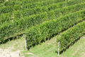 Vineyards in a sunny summer day in France - PhotoDune Item for Sale
