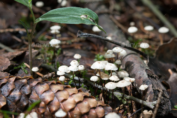 Marasmius - small inedible fungus - Stock Photo - Images