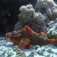 Tassled Scorpionfish Scorpaenopsis Oxycephala Lies at the Bottom, Then Spreads the Fins Red Sea - VideoHive Item for Sale
