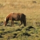 Red Icelandic Horse with Bright Mane Is Grazing on a Meadow in Sunny Day and Walking Out From Frame - VideoHive Item for Sale
