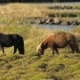 Two Horses Are Grazing in Icelandic Meadows Near River in Sunny Day, Bird Is Sitting on a Back - VideoHive Item for Sale