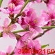 Pink Cherry Tree Flowers Blossoms. - VideoHive Item for Sale
