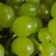 Berries of Green Grapes in Drops of Water - VideoHive Item for Sale