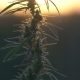 Cannabis at the Sunset Background - VideoHive Item for Sale