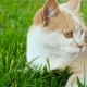 A Cat with Beautiful Eyes Lies on the Grass Filming - VideoHive Item for Sale