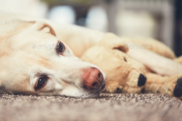 Dog resting with his plush toy - Stock Photo - Images