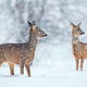 Wild roe deer in a snowfall - PhotoDune Item for Sale