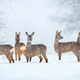 Wild roe deer herd in a snowfall - PhotoDune Item for Sale