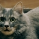 A Beautiful Aggressive Gray Cat Hisses Into the Camera, Instills Fear, the Instinct of Self - VideoHive Item for Sale
