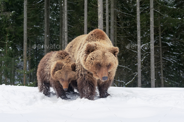 Bear playing in the winter forest - Stock Photo - Images