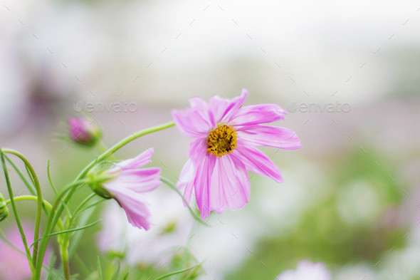 Pink cosmos with refreshing - Stock Photo - Images