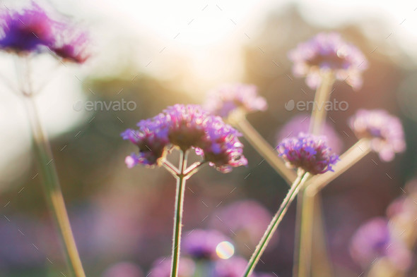 Purple flowers at sunlight - Stock Photo - Images
