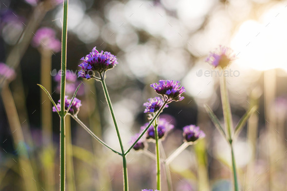 Purple flowers with sunlight - Stock Photo - Images