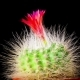 of Cactus or Cacti Flowers - VideoHive Item for Sale