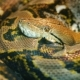 The Longest Snake in the World - Asia's Giant Reticulated Python. Quietly Asleep - VideoHive Item for Sale