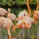 American Flamingos. A Flock of Beautiful Pink Birds - VideoHive Item for Sale