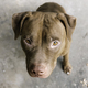 Pitbull Terrier sitting on the ground - PhotoDune Item for Sale