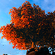 Autumn Leaf Fall And Autumn Tree - VideoHive Item for Sale