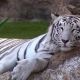 White Tiger Resting in National Park - VideoHive Item for Sale