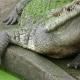 Feeding the Crocodile - VideoHive Item for Sale