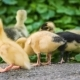 Gosling and Duckling in Green Grass - VideoHive Item for Sale