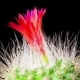 Cactus or Cacti Flowers - VideoHive Item for Sale