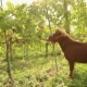 Beautiful Brown Horse Eats Grapes - VideoHive Item for Sale