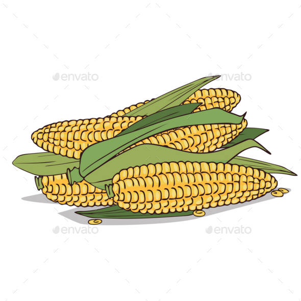 Isolated Ripe Corn Ears or Cobs - Food Objects