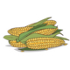 Isolated Ripe Corn Ears or Cobs