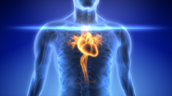 Male Scan Heart Anatomy In Blue X-Ray by se5d | VideoHive