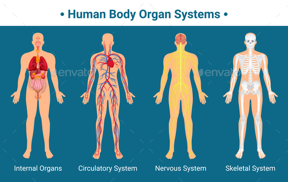 Human Body Organ Systems Poster by macrovector | GraphicRiver
