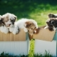 Many Small Puppies in Two Cardboard Boxes on the Lawn. Two Boxes of Happiness - VideoHive Item for Sale