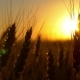 Wheat at Sunrise or Sunset in the Wind - VideoHive Item for Sale