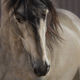 Portrait of buckskin Andalusian horse.  - PhotoDune Item for Sale