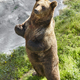 Brown bear standing on the ground. Wildlife environment. Animal background - PhotoDune Item for Sale