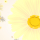 White Daisy Flowers Background - VideoHive Item for Sale