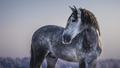 Horizontal portrait of gray Spanish horse with winter evening skies.  - PhotoDune Item for Sale