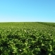 Blooming Potato Field at Beautiful Day - VideoHive Item for Sale