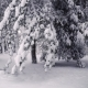 Snowy Trees in the Forest - VideoHive Item for Sale