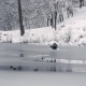 Ducks Swim in the Winter Pond - VideoHive Item for Sale