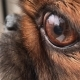DEPTH OF FIELD: Detail of Dog's Nose,eyes and Mouth.  Receptors for the Scent - VideoHive Item for Sale