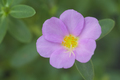 Close up of common purslane flower - PhotoDune Item for Sale